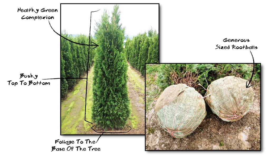 cedar bush trimming, cedar planting, cedar hedge spacing, cedar hedges vancouver, cedar trees