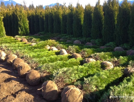 fraser valley cedar trees for sale