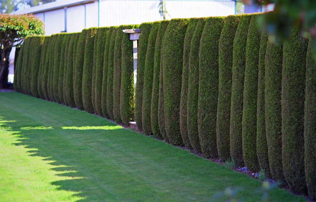 cedar trees for privacy