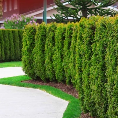 cedar hedging ideas