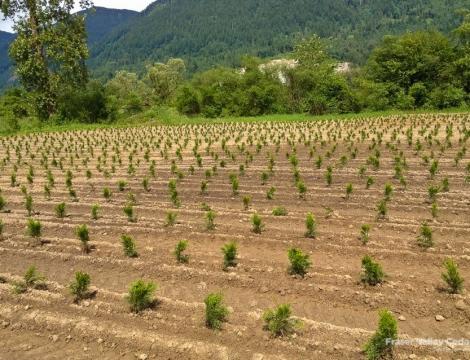 cedar trees langley