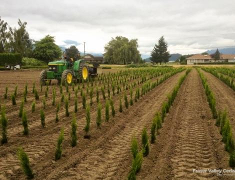 cedar tree farms in bc