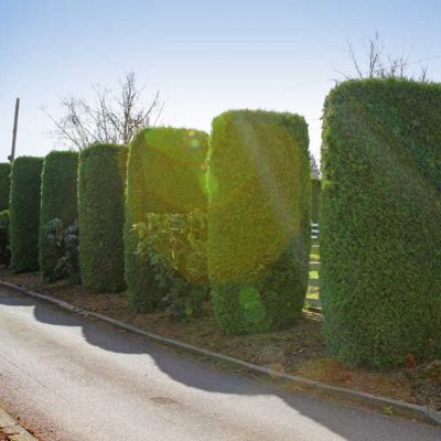 cedar tree design ideas