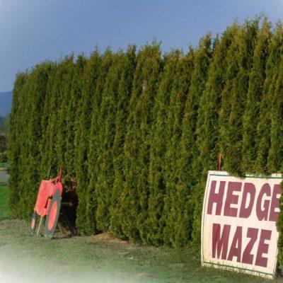 cedar tree hedge maze