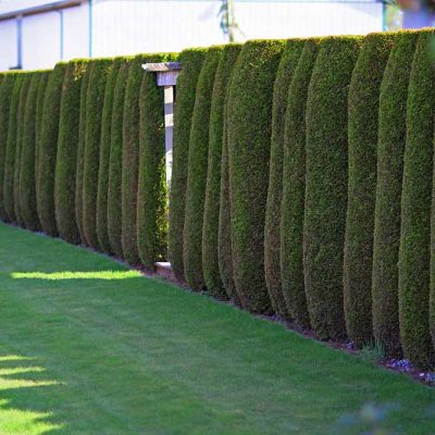 cedar trees for privacy