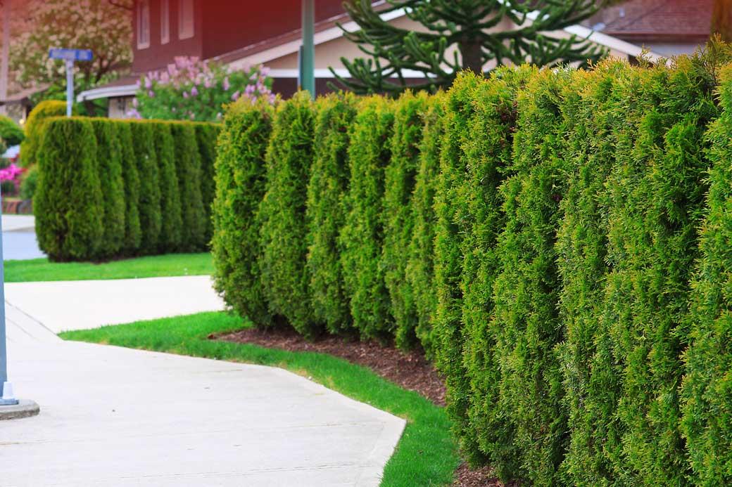 how to care for cedar hedges info